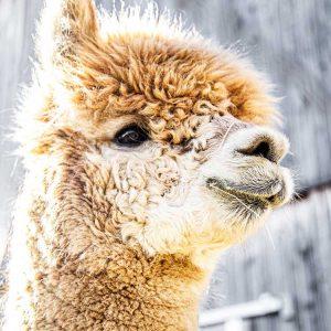 Ferme Alpaga Libby Mill Alpaca Farm